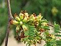 Libidibia coriaria - Divi-divi Tree - Caesalpinia coriaria - WikiSangamotsavam 2018, Kottappuram, Kodungalloor (1).jpg