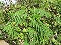 Libidibia coriaria - Divi-divi Tree - Caesalpinia coriaria - WikiSangamotsavam 2018, Kottappuram, Kodungalloor (14).jpg