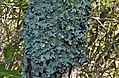 Lichen (Parmotrema perlatum) (8580717370).jpg