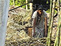 Lifting sugarcane toput in the machine.JPG