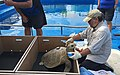 Lightning was quite the energetic sea turtle while getting her GPS tag (36759336210).jpg