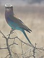 Lilac breasted roller in Tanzania 0561 cropped Nevit.jpg