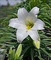 Lilium-candidum-001-Zachi-Evenor.jpg