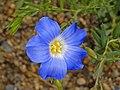 Linaceae - Linum alpinum subsp. julicum.JPG