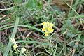 Linaria vulgaris, naturalised, Delaware.jpg