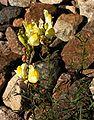 Linaria vulgaris20090811 029.jpg