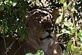 Lion, Ruaha National Park (10) (28740954480).jpg