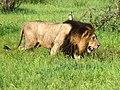 Lion (Panthera leo) (6041671298).jpg