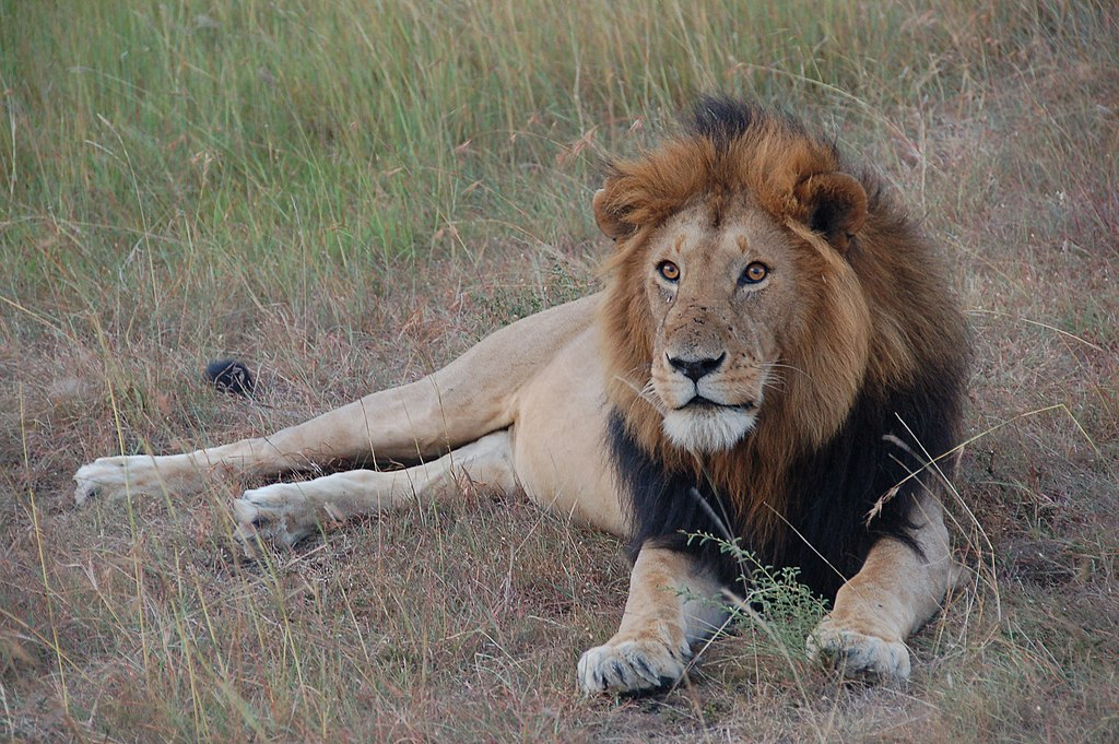 """""""Lion Masai Mara"""" by Dylan Walters - http://www.flickr.com/photos/50169083@N00/1202112880/in/photolist-2Qe9h9-o3aJD-5YahXn-5XY6Hk-5Y2YmF-5YeyNf-5Yeydm-5Yanvz-5Y1ZxT-5Y7kv1-5Y2VV2-5Y2TZR-5Y7dK1-5Y31xK-5YexHm-5Y6jPm-5Y3mCj-5Yet5G-5Yakrv-5Y7fZ9-5YeNQ3-5Y5Dwq-5Y1ny8-5Y1pKZ-5Y5EMj-5Y5BgE-5Y5E5y-5Y1khn-5Y5BT9-78nmzw-78iC4k-78nsab-78iBpK-78ixip-78iw1M-78nz6h-78nttU-78ioVH-78iyKX-78ijBR-78nuXd-78iDVn-78ihbD-78orx7-78iA8p-78npqu-78iJip-78njmw-78nnYW-78itdp-78nD9s. Licensed under CC BY 2.0 via Wikimedia Commons - https://commons.wikimedia.org/wiki/File:Lion_Masai_Mara.jpg#/media/File:Lion_Masai_Mara.jpg"""