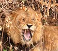 Lion Resting, Uganda (15059488790).jpg