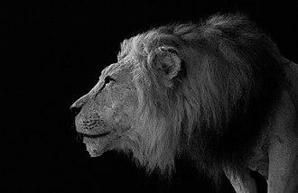Barbary lion - Image: Lion d'atlas au jardin zoologique de rabat