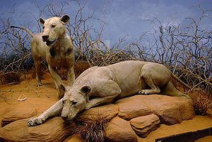 The Ghost and the Darkness - The Tsavo Man-Eaters on display in the Field Museum of Natural History in Chicago, Illinois.