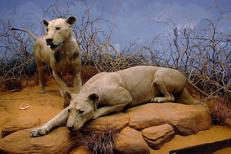 Los leones devoradores de hombres de Tsavo