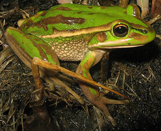 WestConnex - Green and golden bell frog, cause of criticism as a result of perceived threat to the species