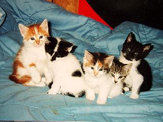Ragdoll Cat Litter Size
