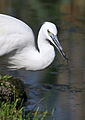 Little Egret, Egretta garzetta at Rietvlei Nature Reserve, Gauteng, South Africa (22166288104).jpg