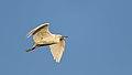 Little Egret, Egretta garzetta at Waterfall Estate, Gauteng, South Africa (36062344006).jpg