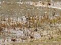 Little Ringed Plover (Charadrius dubius) (29058739902).jpg