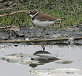 Little Ringed Plover (Charadrius dubius) in Hyderabad, AP W IMG 2411.jpg
