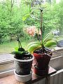 Little orchid D1305.jpg