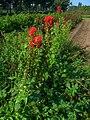 Lobelia cardinalis 001.JPG