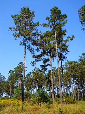 Pinus taeda - Characteristic appearance of loblolly pines, south Mississippi, USA