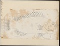 Lobotes auctorum - 1774-1804 - Print - Iconographia Zoologica - Special Collections University of Amsterdam - UBA01 IZ13000197.tif