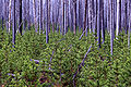 Lodgepole pine Yellowstone 1998 near firehole.jpg