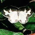 Lomaspilis.marginata.2281.jpg