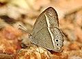 Long-brand Bushbrown Mycalesis visala by Dr. Raju Kasambe IMG 9557 (8).jpg