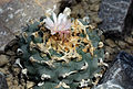Lophophora williamsii Prague 2011 2.jpg