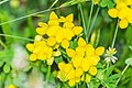 Lotus corniculatus in Aveyron (1).jpg