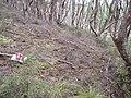 Lupinus arboreus Sims (AM AK293419-4).jpg