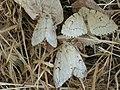 Lymantria dispar ♀ - Gypsy moth (females) - Непарный шелкопряд (самки) (27003549328).jpg