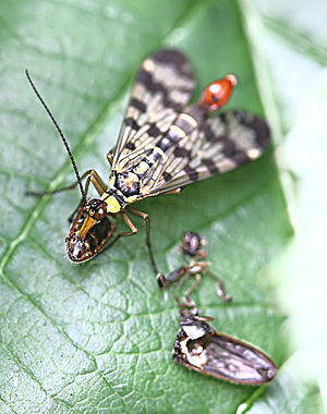 Mecoptera - A Panorpid scorpionfly feeding on a dead insect