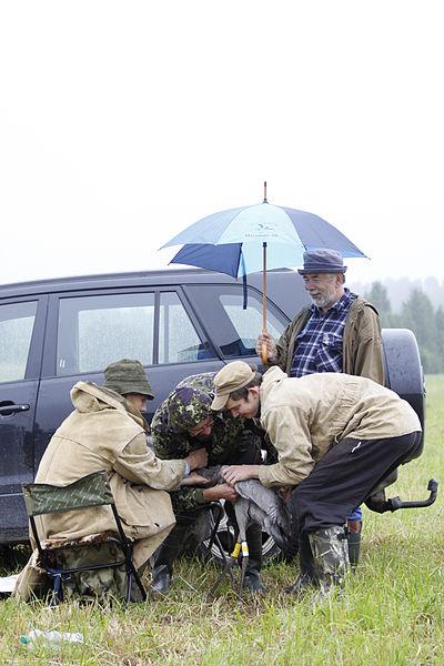 File:Maaülikooli sookure seire projekt Aivar Leito eestvedamisel. Sookurele GPS-saatja paigaldamise ajal trotsivad ilma Uku Bleive, Urmas Sellis, Ott Sellis ja Aivar Leito.jpg
