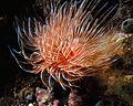 Magnificent Tubeworm Protula magnifica - Bunaken, Sulawesi, Indonesia.jpg