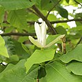 Magnolia tripetala-IMG 4376.jpg