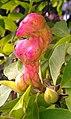 Magnolienfrucht - panoramio.jpg