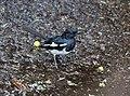 Magpie Robin IMG 001.jpg