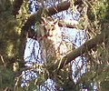 Malé Raškovce long-eared owl (asio otus) perched and resting 01 (March 2006).jpg