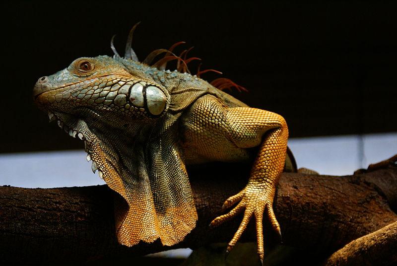 File:Male Green Iguana.JPG