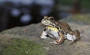 American bullfrog - A young male displaying yellow throat and large tympani
