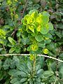 Malpighiales - Euphorbia characias - London 2.jpg