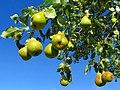 Malsch - Am wilden Birnbaum - panoramio.jpg