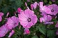 Malva - Blumen.jpg