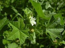 Malva parviflora small.jpg