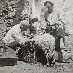 Manžan, brata Furlaniča strižeta ovco 1950.jpg