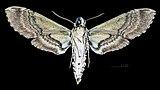 Manduca boliviana MHNT CUT 2010 0 105 Santa Cruz Department (Bolivia) male ventral.jpg