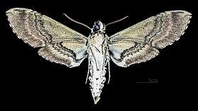 Sưu tập Bộ cánh vẩy 2 - Page 14 280px-Manduca_boliviana_MHNT_CUT_2010_0_105_Santa_Cruz_Department_%28Bolivia%29_male_ventral